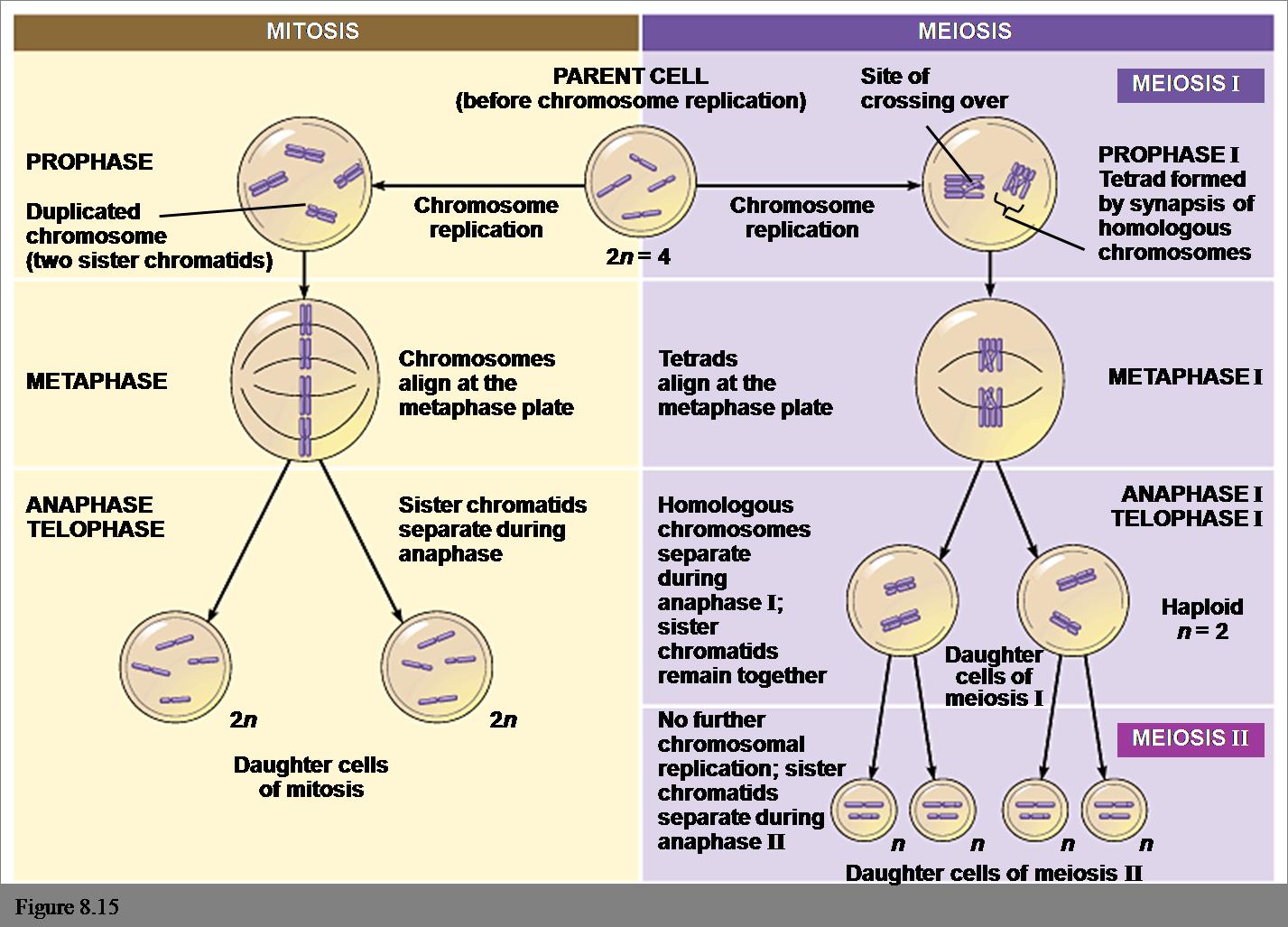 Reproduksi sel enccas weblog kromatid 2 metafase pada tahap ini kromosomkromatid berjejer teratur dibidang pembelahan bidang equator sehingga pada ccuart Choice Image